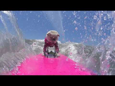 Surfing Rosie's Dog Beach LA Pug Meet 2016