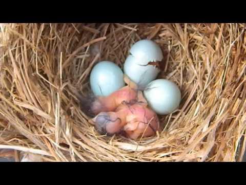 Bluebird Hatching