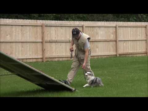 Shay (Toy Australian Shepherd) Boot Camp Dog Training