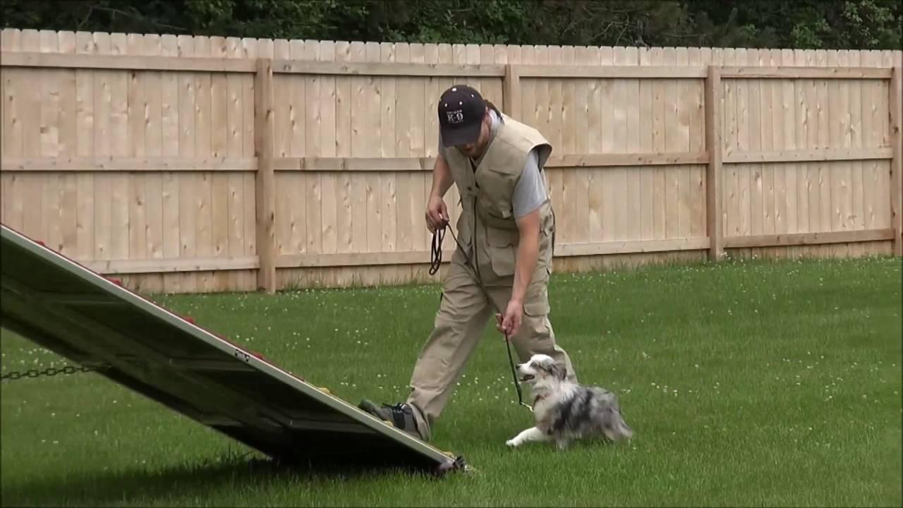 Shay Toy Australian Shepherd Boot Camp Dog Training