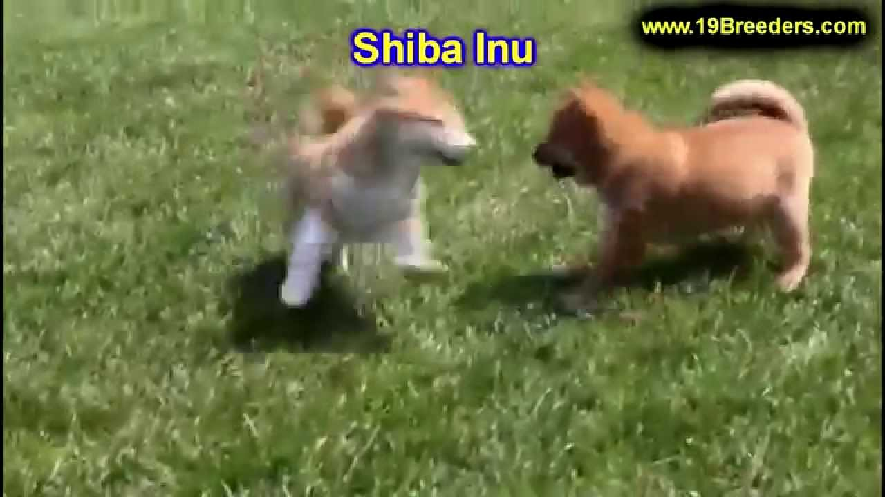 Shiba Inu Puppies Dogs For Sale In Montgomery Alabama Al