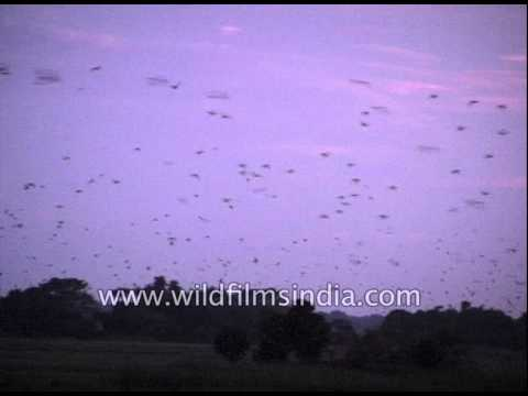 Parakeets fill northern Indian skies every evening, with their loud calls