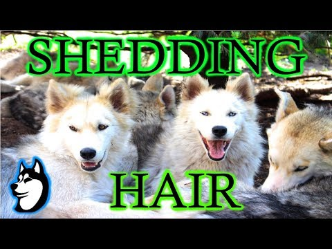 What 9 Huskies Shedding Their Coat Looks Like! | + Slim Grows a Mustache!