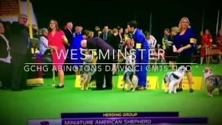 Miniature American Shepherd Westminster Best of Breed