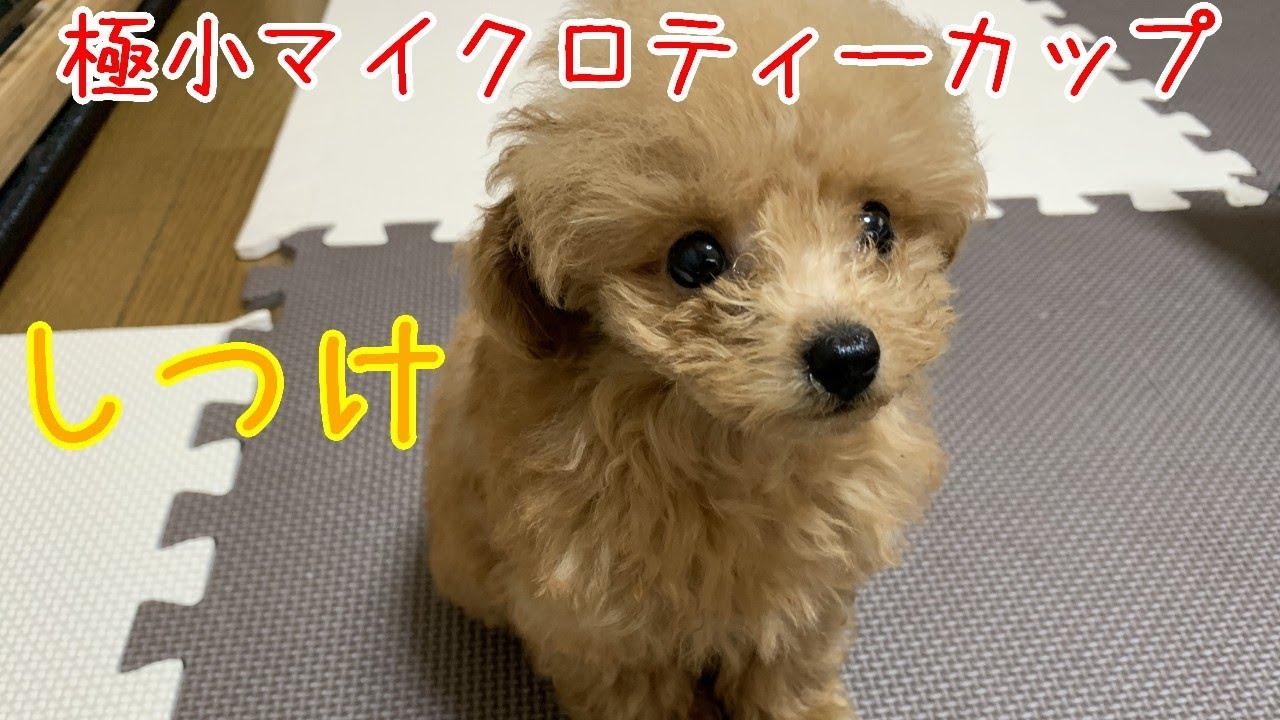 ティー カップ プードル マイクロ 世にも珍しいプードル&豆柴専門の犬カフェ。秋葉原「マイクロティーカップカフェ」で癒されてきた!