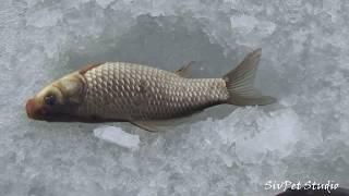 Зимняя рыбалка на карася в феврале 2020 .