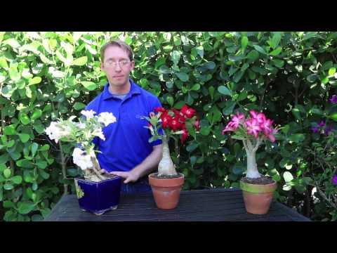 How to Grow Desert Rose