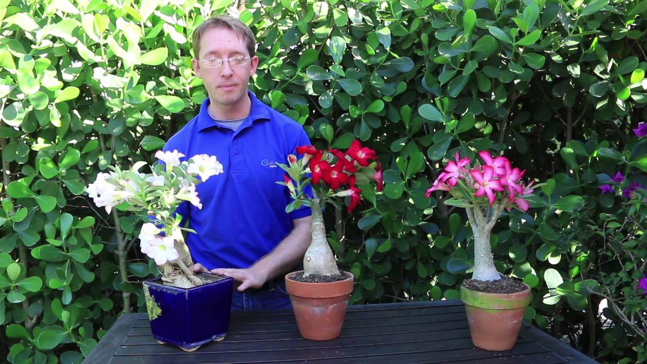 How to grow desert rose youtube for Easy to care for outdoor flowering plants