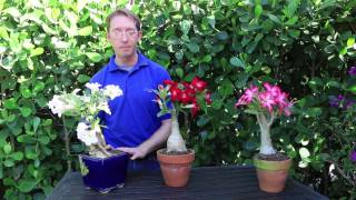 How to Grow Desert Rose