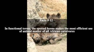Spotted hyena Top # 18 Facts