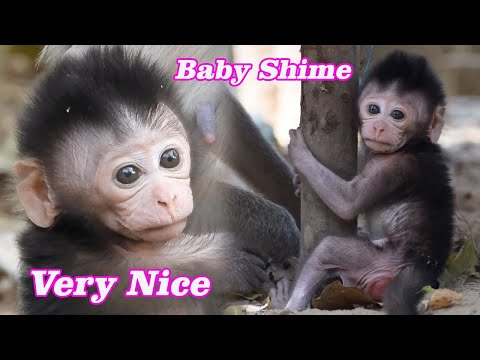 A Toddler Baby Shime, Cutest Newborn Monkey Learning Walk