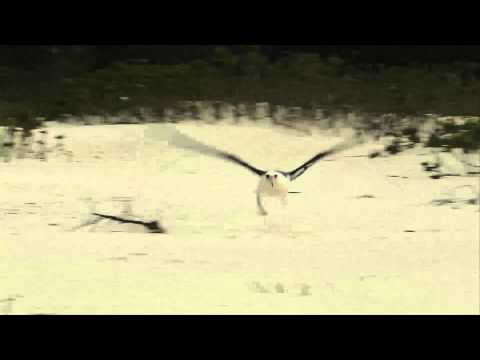 Laysan Albatross Takeoff