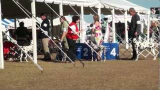 Tampa Bay Kennel Club (brooksville, Fl - 1/20/12) - Dalmatians: Best Of Breed