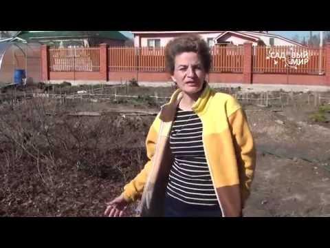 Вопрос: Как вырастить рододендрон в северокавказском регионе?