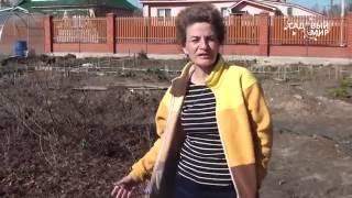 видео Рододендрон