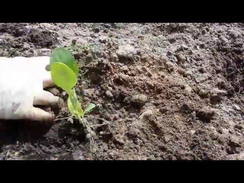 Выращивание цветной капусты рассада, посадка и уход, в