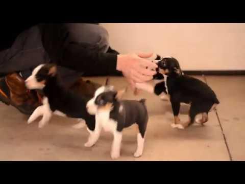 Luke Mast's Toy Fox Terrier Puppies