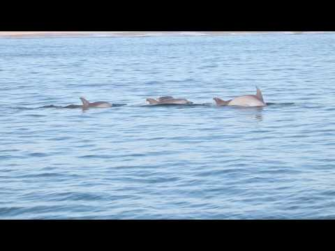 Dolphins off the coast of Rehoboth Beach, Delaware