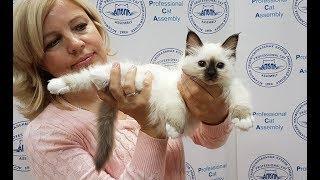 Презентация котенка Священная бирма ЛУИЗА ВАЙТ ПАВС