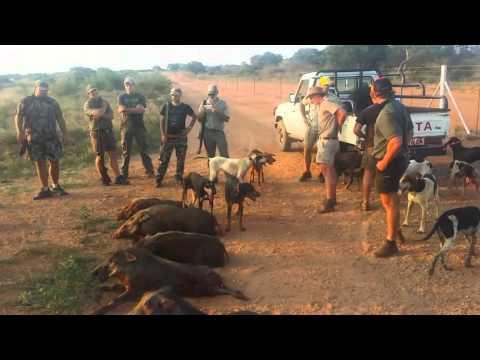 Bushpig hunting - Limpopo