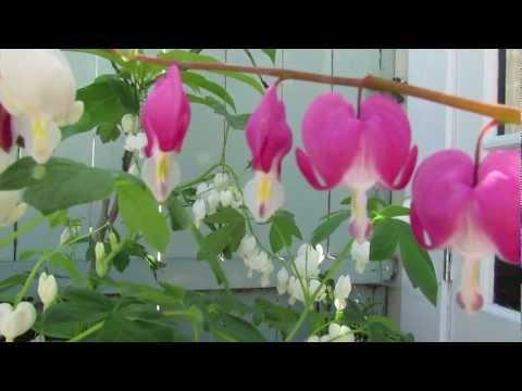 Bleeding Heart Flower Story & Care