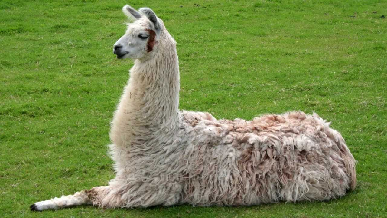 Llama Sounds And Pictures
