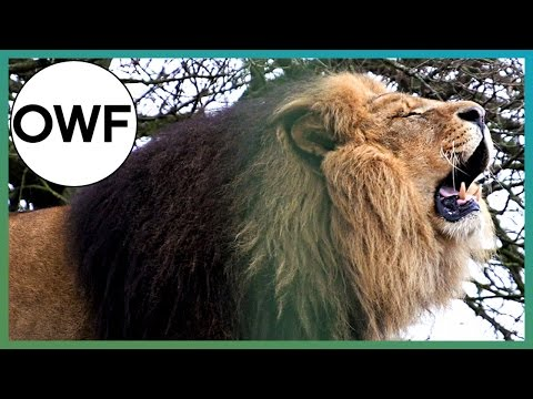 How loud is a Lion