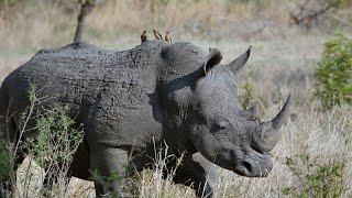 World Rhino Day: COVID-19 keeps rhino poaching in check