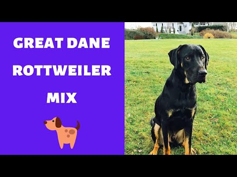 A Complete Guide on the Great Dane Rottweiler Mix | Should you even get one for yourself?