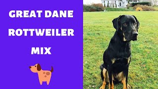 A Complete Guide on the Great Dane Rottweiler Mix   Should you even get one for yourself?