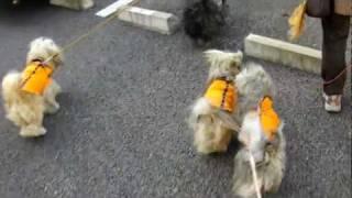2012年正月2日 仔ラサの「しず」ちゃんと、大ラサみんなでのお散歩です...