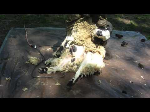 Jacob sheep get sheared