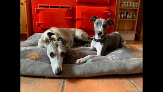 Can You Help Answer 24 Whippet Questions?
