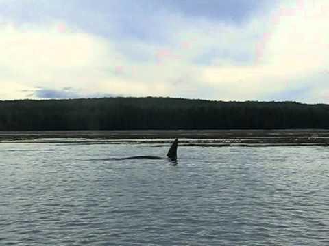Langara Island (BC) Killer Whales
