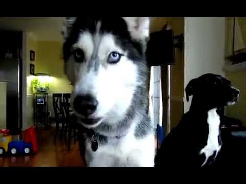 Уникакльный пёс Мишка ( хаски ) умеет говорить 12 слов !!!