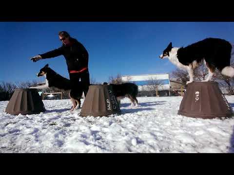 MULTIPLE DOG TRICKS - Pedestal Work