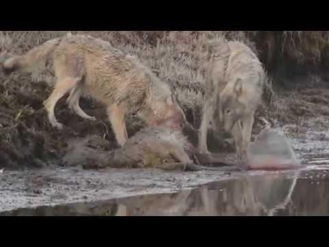 Wolves Feeding on Elk Kill in Yellowstone