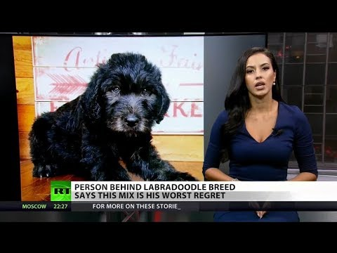 Labradoodle regrets: Creator laments rise of designer breeds