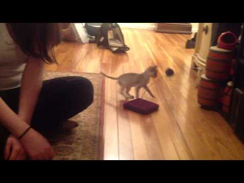 Lily Singapura Kitten - 1st Day Home - Playing with 1st Toy! (Smallest Cat Breed!)