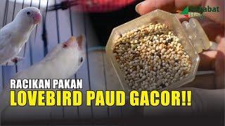 Pakan Lovebird Paud Gacor & Jebol Birahi Lovebird
