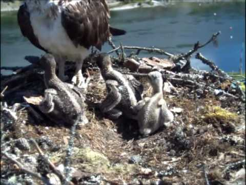 Nelson BC last afternoon with Nellie, TR & 3 chicks before camera off air at 3:00pm 6-26-2016