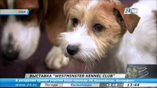 В США пройдет выставка собак Westminster Kennel Club