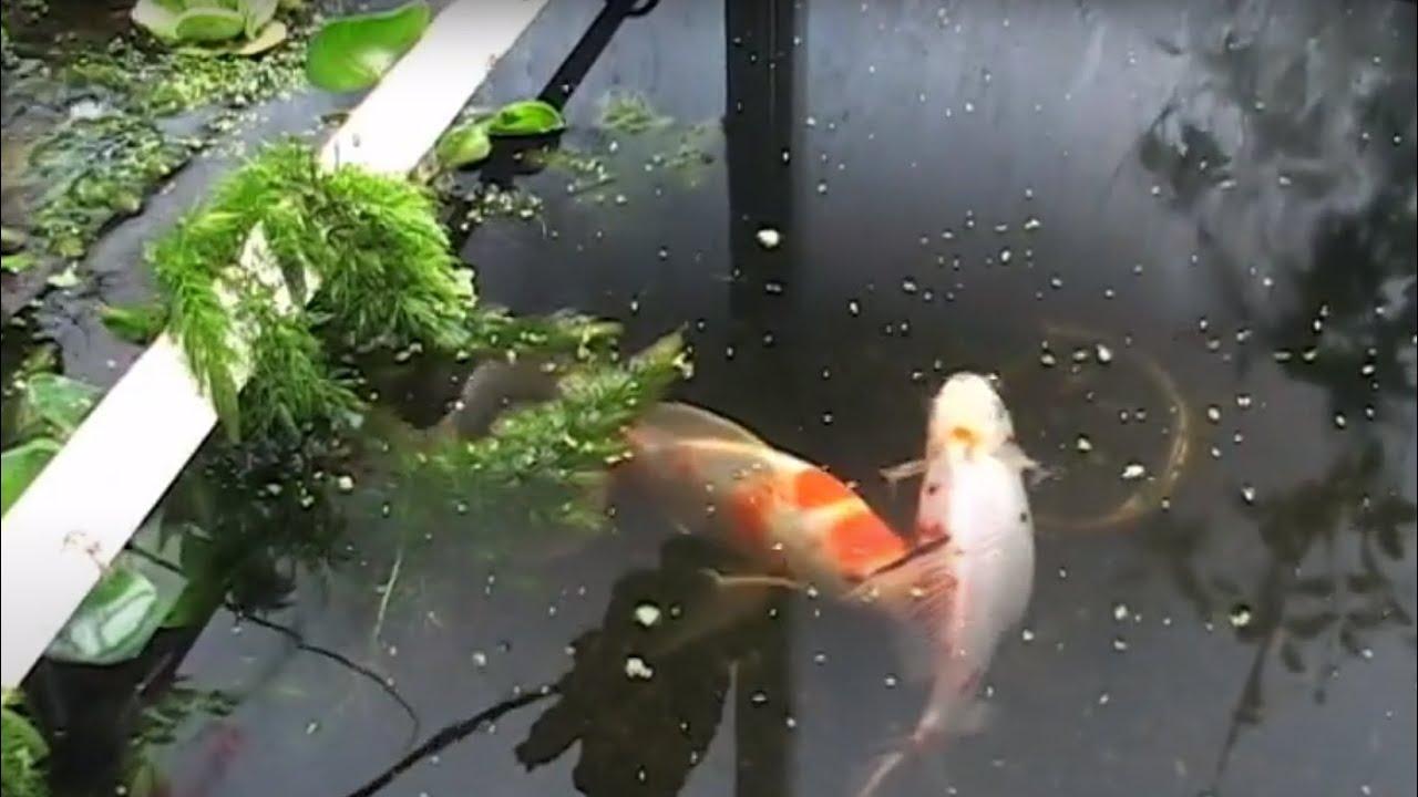 Shubunkin goldfish pond the image kid for Koi vs goldfish