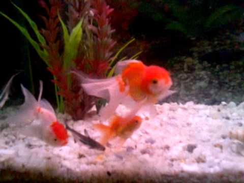 Old aquarium goldfish oranda fantail koi iridescent shark for Koi vs goldfish