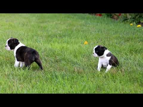 Boston Terrier Puppies For Sale Omar Stoltzfus