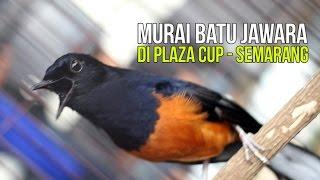Aksi Maut Murai Batu Juara Di Plaza Cup Semarang