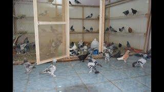 Güvercinleri Satıyorum ! 6 Tane Kuş 50TL ÇOK UCUZ !