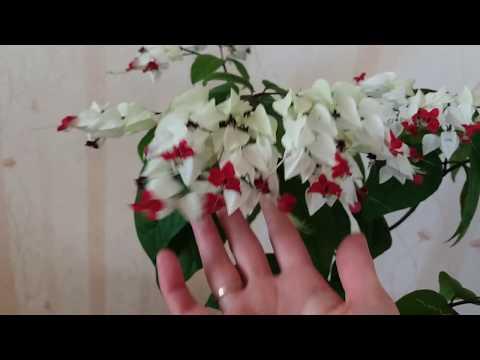 Цветение клеродендрума госпожи Томсон
