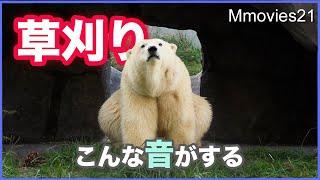 熊手の驚異!ホッキョクグマの草刈り 集めた草をどうするの? Polar Bear mow grass