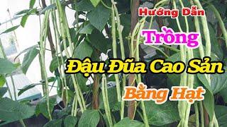 cách trồng đậu đũa cao sản bằng hạt